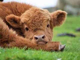 सपने में बछड़ा देखना sapne me calf dekhna