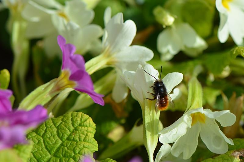 Osmie cornue (Osmia cornuta) sur fleur de Primevère
