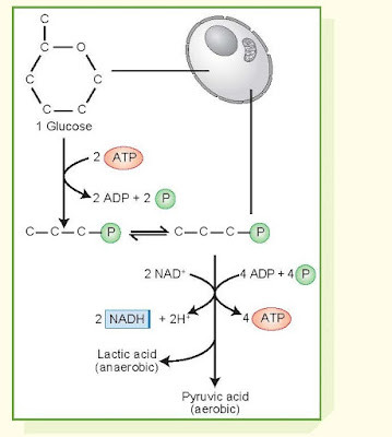 Glycolytic Pathway