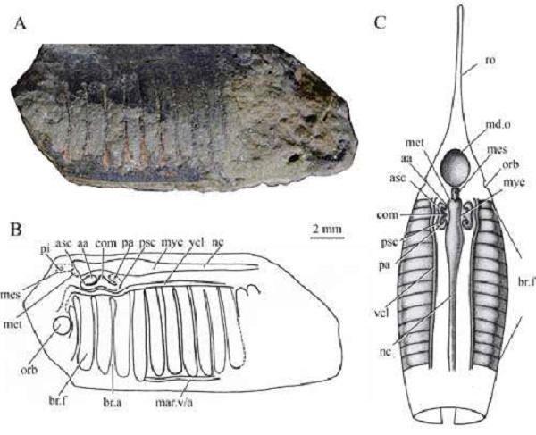 New jawless fish found from the Lower Devonian of Yunnan