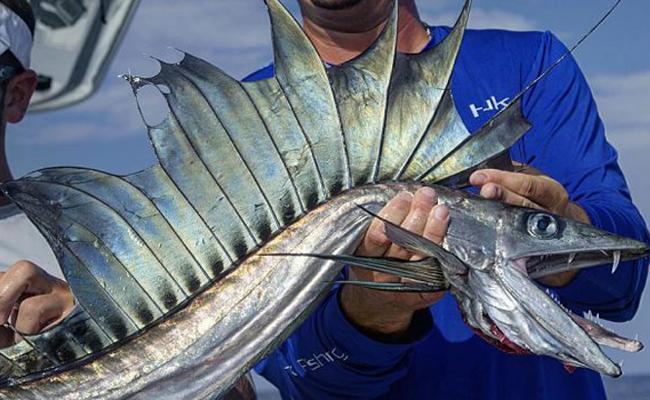 Ikan lanset