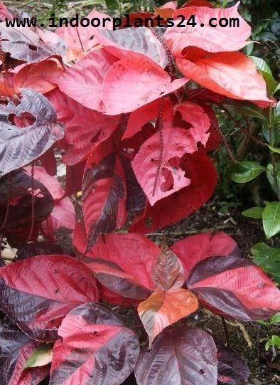 Acalypha Wilkesiana plants pics