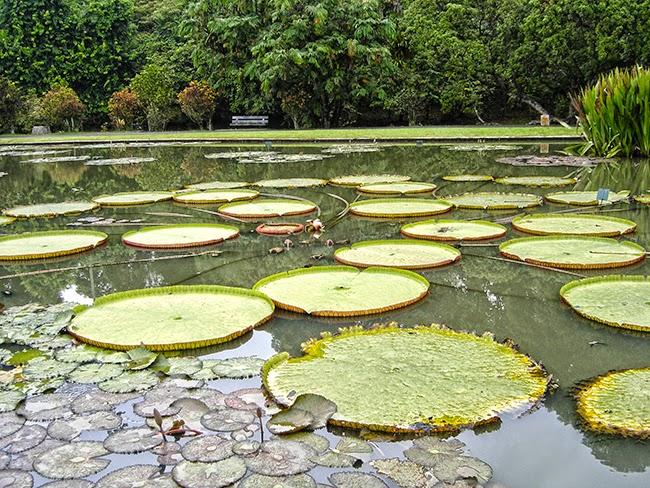 Lirios de agua en el jardín botánico de Bogor