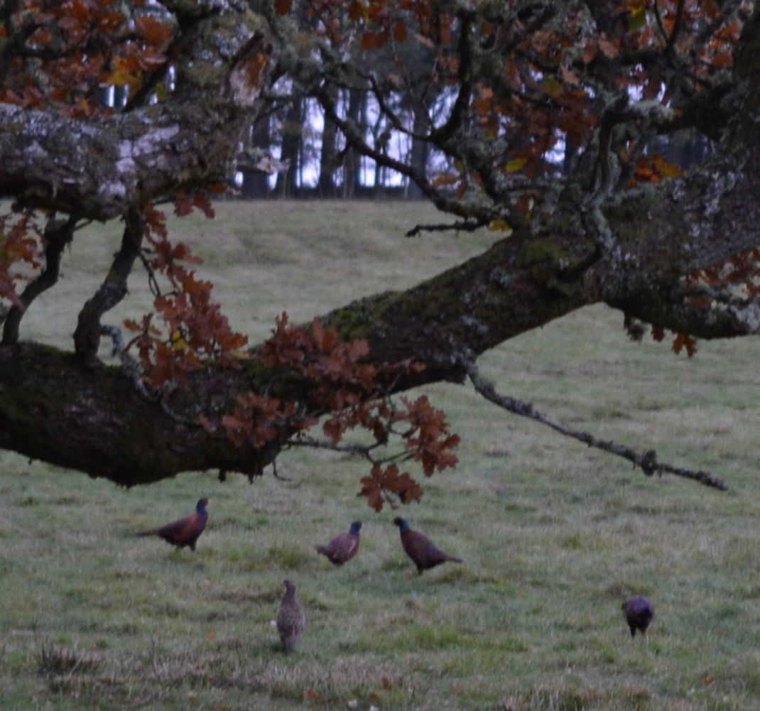 Experience Northumberland's Dark Skies with a Stay at Hesleyside Huts  - pheasants in the morning