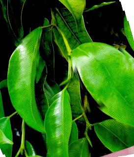 Image result for daun beringin