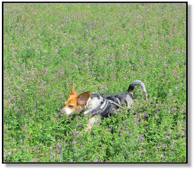 Rennen, die Lieblingsbeschäftigung von einem Beagle