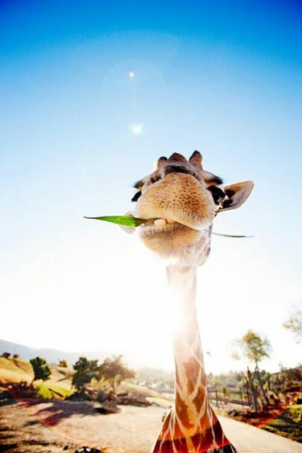 giraffa, divertente,