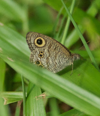 Common Five Ring (Ypthima baldus newboldi)