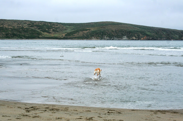 cabana's behind with her tail in a curl as she runs through the water away from the camera