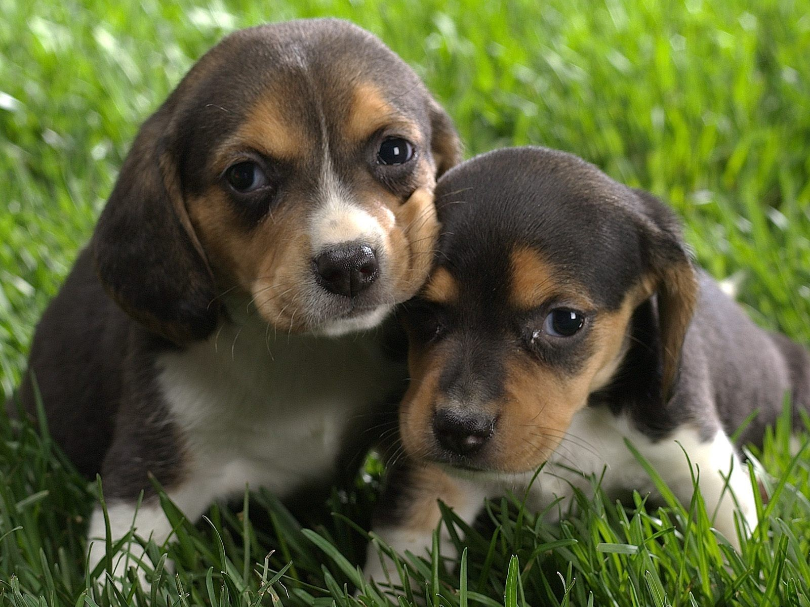 cute puppy puppies very wallpapers hd dogs animals baby dog beagle pretty adorable puppys pups cutest beagles extremely sweet babies