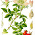 10 Health Benefits of Rose Hip | Herbal Remedy for Diarrhea