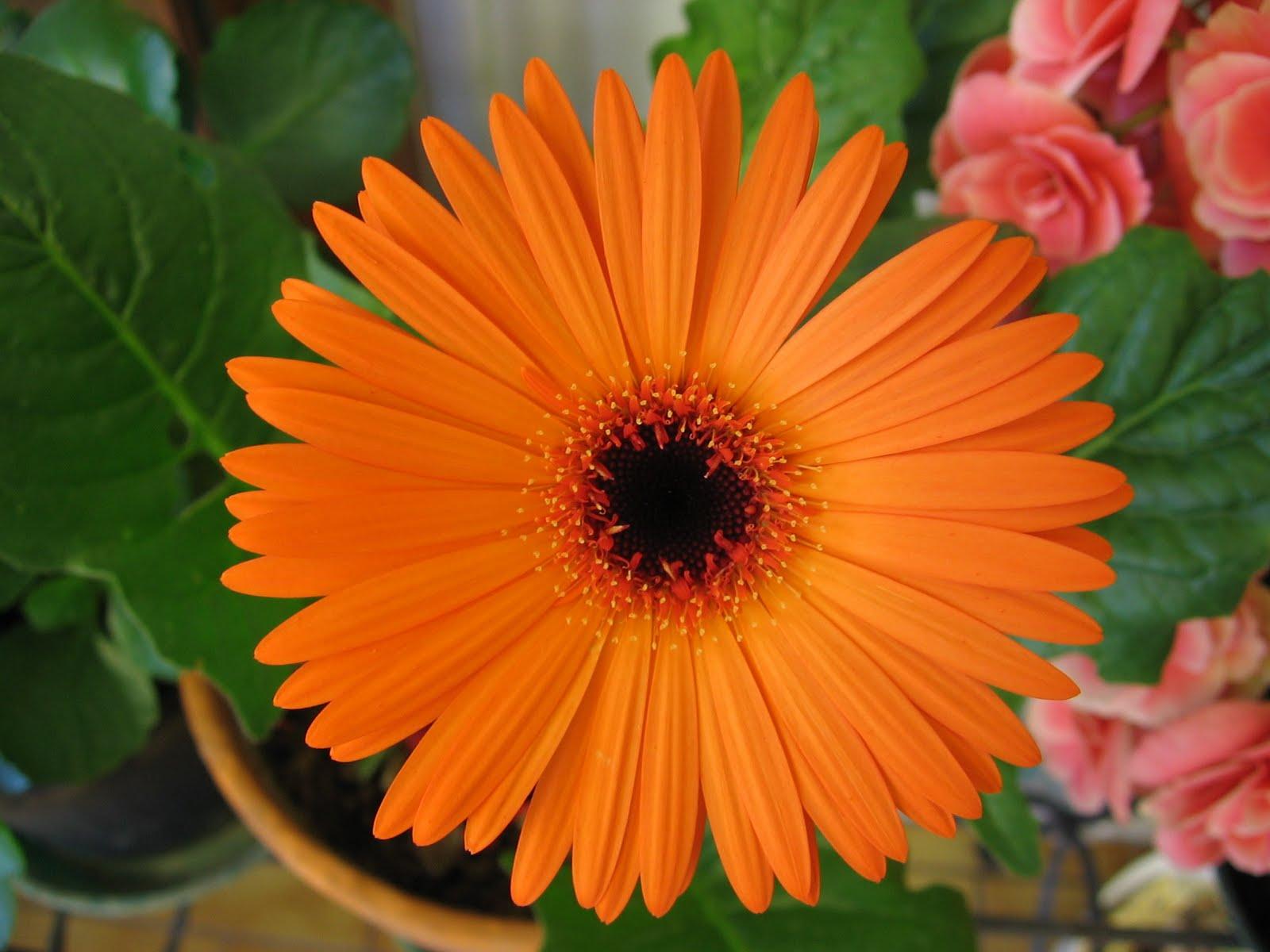 Wedding Flowers: Orange Gerberas