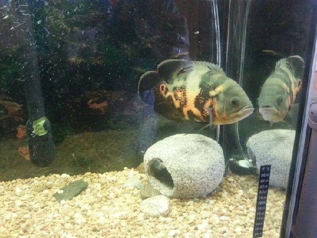 Perawatan Benih Ikan Oscar