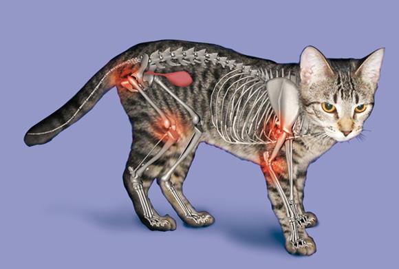 Royal City Animal Hospital Arthritis In Cats