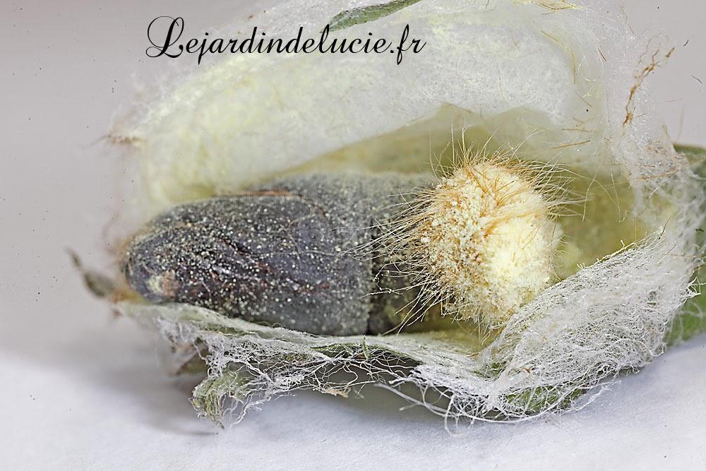 malacosoma castrensis la livr e des pr s uf chenille chrysalide imago. Black Bedroom Furniture Sets. Home Design Ideas