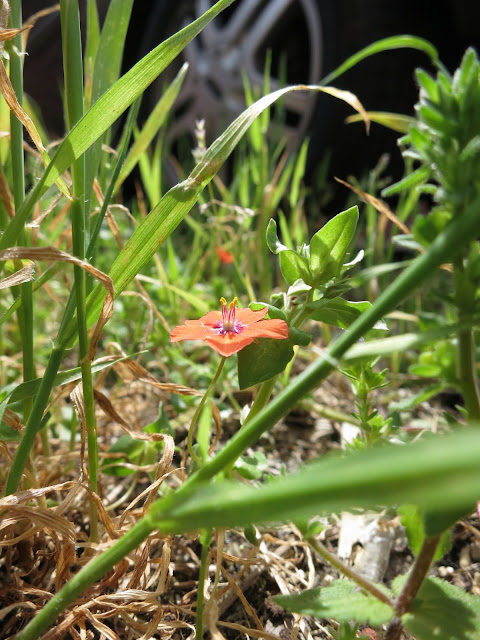 Scarlet Pimpernel flower open beside grass with wheel of car in background.