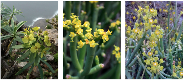 Euphorbia x marreroi, Euphorbia regis-jubae y Euphorbia aphylla 01
