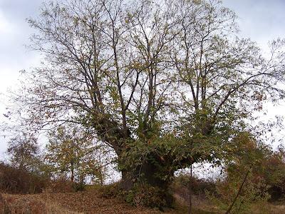 kestane ağacı ile ilgili görsel sonucu