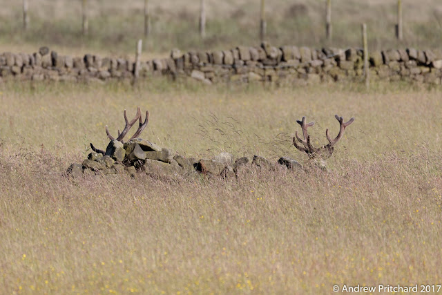 Two stags are lying down behind part of an old ruined dry stone wall. Only their antlers are visible.