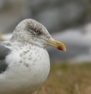 Lesser Black-backed Gull hybrid and Lesser Black-backed Gull