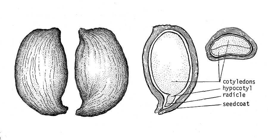 Fruit Seeds of Southern Michigan: Aronia melanocarpa