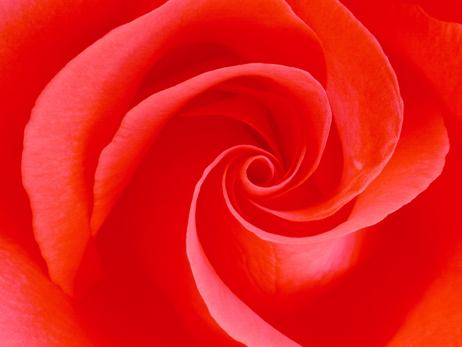 red%2Brose%2Bwallpapers%2Bby%2Bcool%2Bwallpapers%2B%2525285%252529 Wallpaper red rose garden