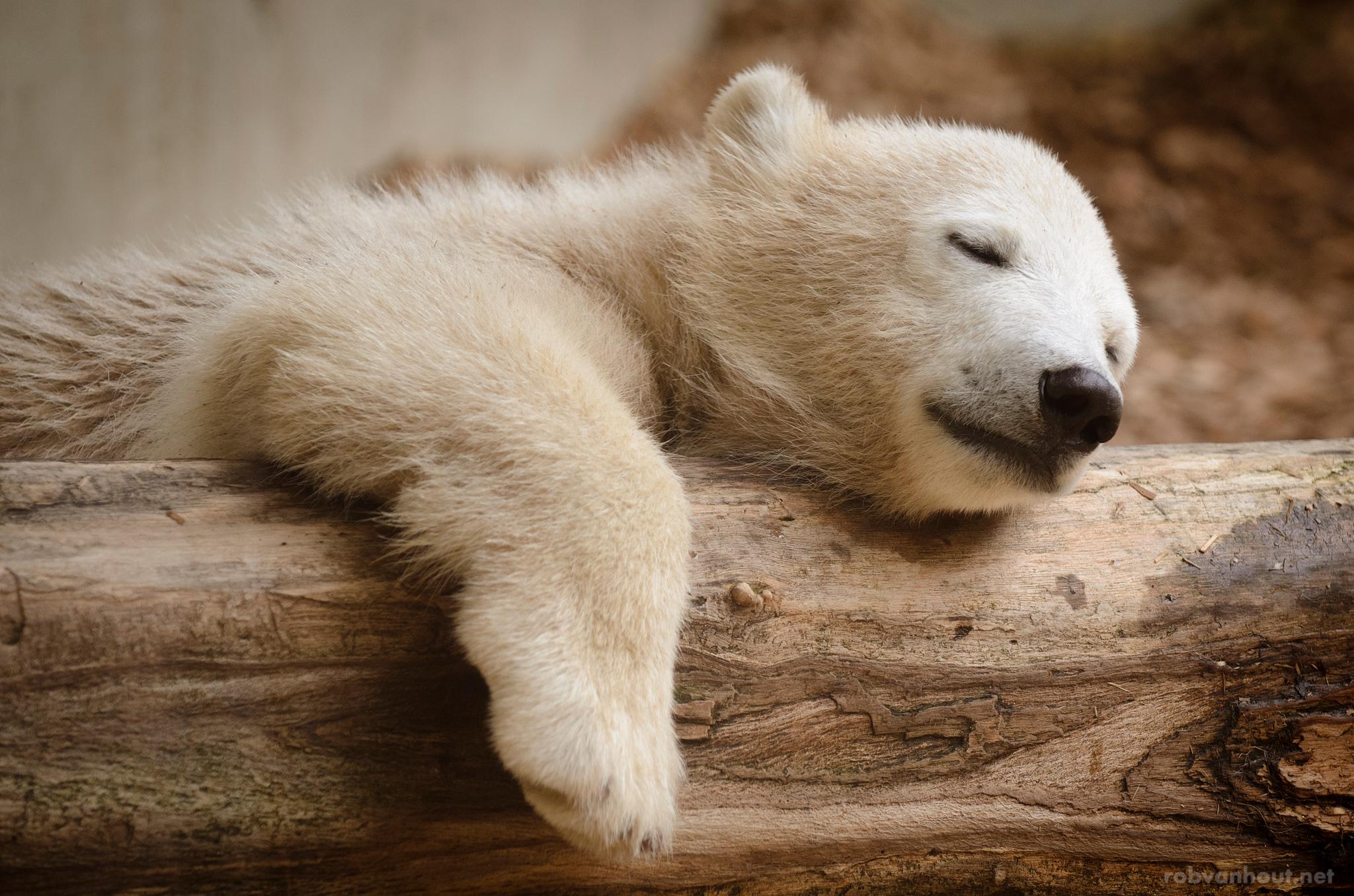 Polar Bear Anori — Wuppertal Zoo