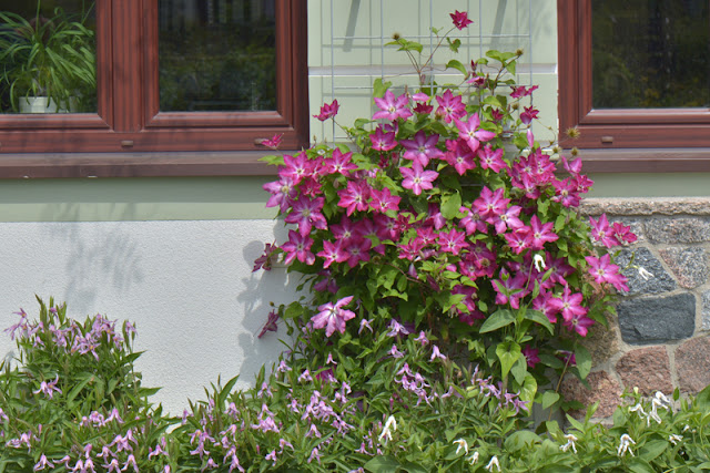 'Viva Polonia' clematis from Proven Winners