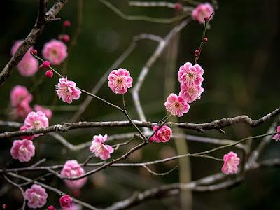 Red Ume (Prunus mume) flowers: Tokei-ji