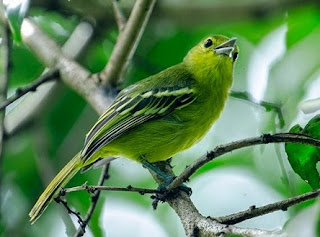 Cara Dan Tips Perawatan Anakan Burung Sirtu Supaya Cepat Berbunyi/Gacor Setiap Hari Paling Lengkap