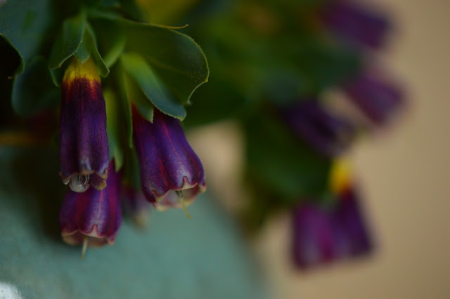 cerinthe major purpurea, monday vase meme, small sunny garden, desert garden, amy myers