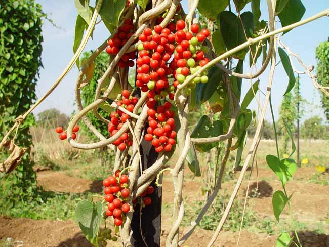 Tinospora cordifolia : A Versatile Rejuvenating Herb!  The ...