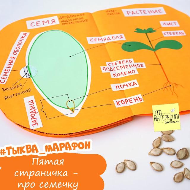 Как устроено семя тыквы