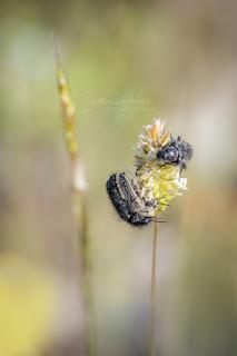 Enicopus pilosus