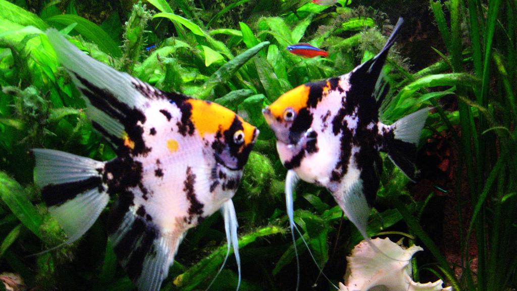 Avenger blog: Angelfish