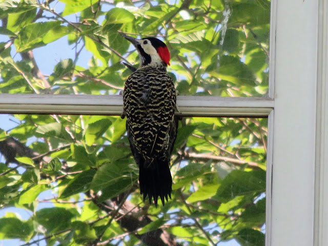 Woodpecker on a windowsill in Mendoza Argentina