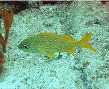 Ikan Hias Air Laut Grunt fish