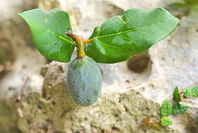Ficus pumila fruit