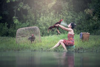 Cara Merawat Ayam Aduan Atau Bangkok Dari Kecil yang Benar