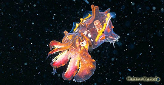 Choco - Cuttlefish - Multicollor