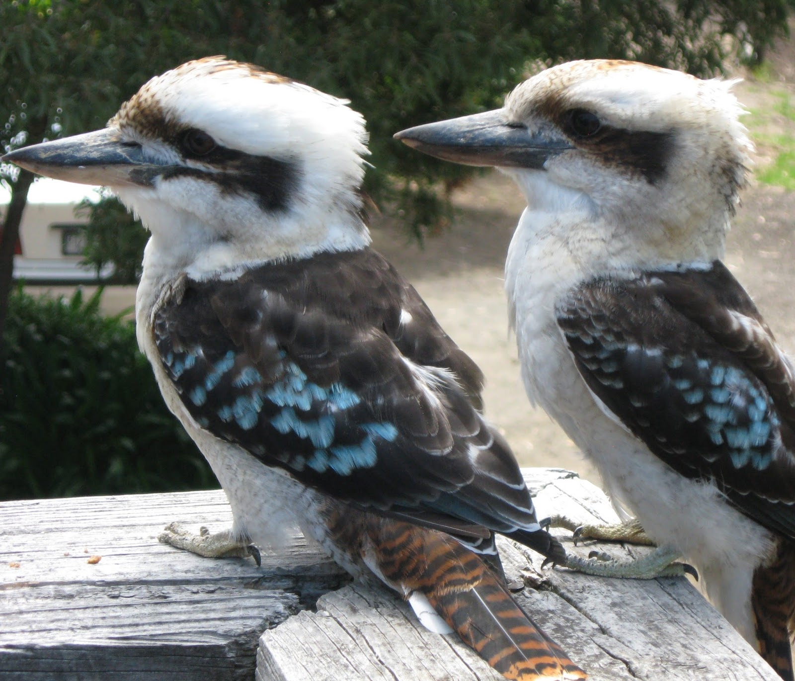 Picture of a pair kookaburra birds.