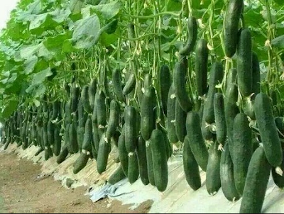 खीरे(Cucumbers)