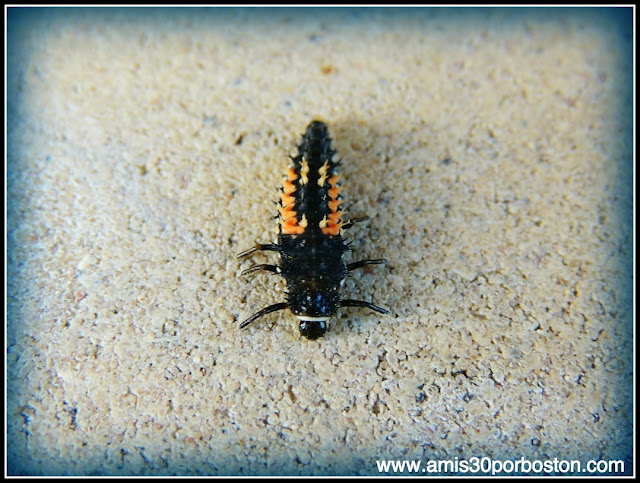 Insecto Texano