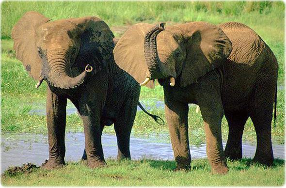 Elefantes africanos dormem apenas 2 horas por dia