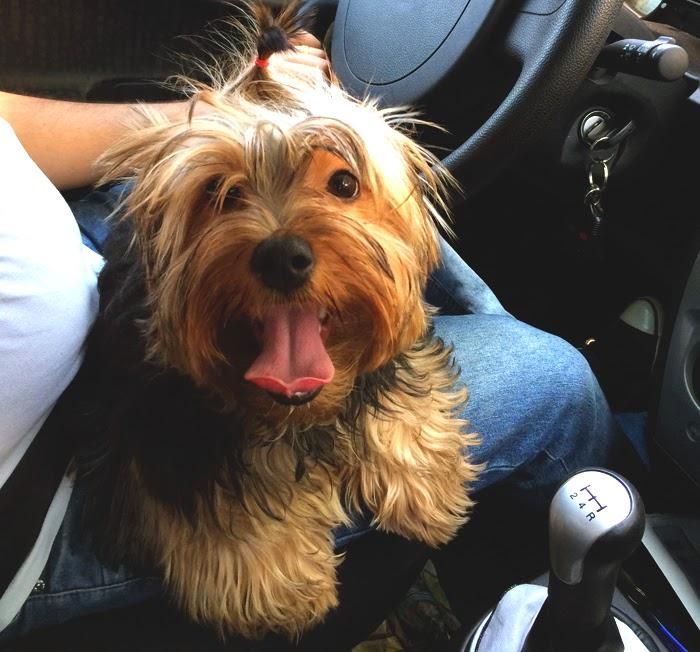 cachorro no volante