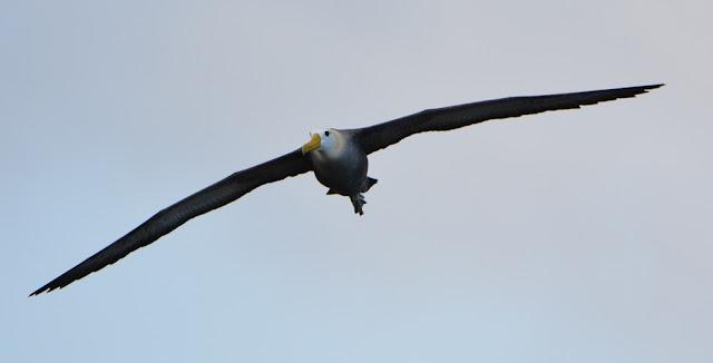 Punta Suarez on Espanola Island  albatross