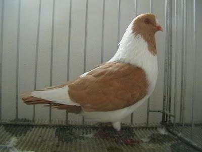 Prácheňský káník - yellow pigeons