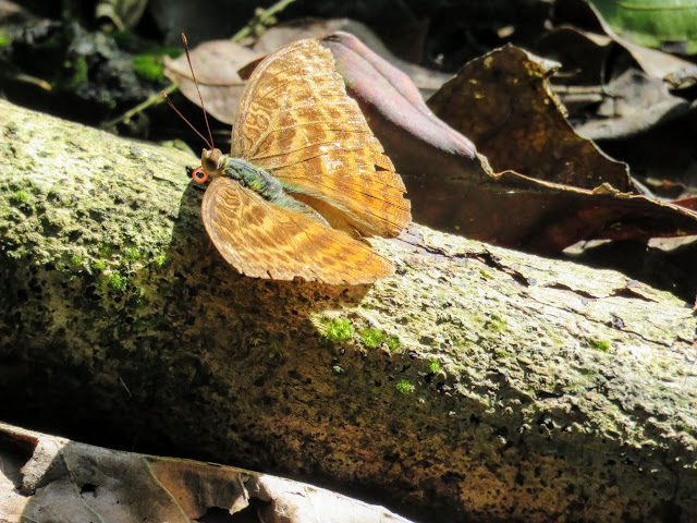 Butterfly at Kibale Forest Camp in Western Uganda