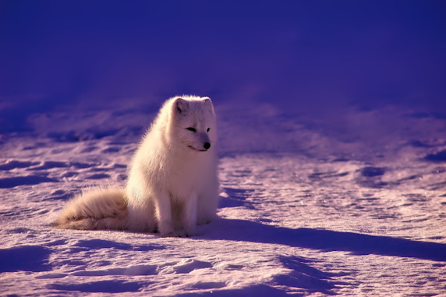 A Norwegian Arctic Fox sitting in the snow.