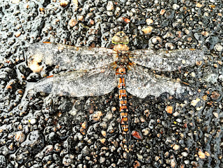 dragonfly photo by kea